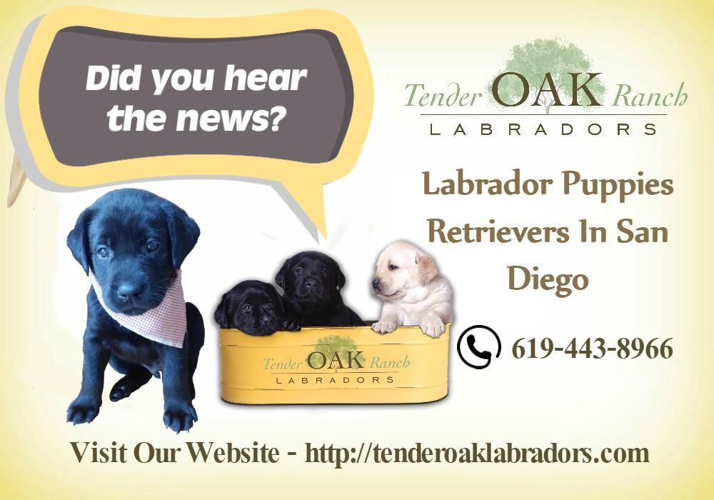 Yellow Lab Puppies In San Diego Labrador Retriever Puppies Labrador Labrador Retriever