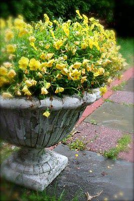 late spring pansies in the rain