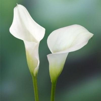 Calla Lily Mini White Mini Calla Lilies Calla Lily Calla Lily Bridal