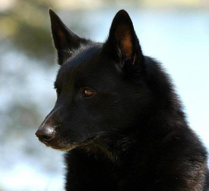 Norwegian Buhund Black Norwegian Buhund Black Dog Breeds Norwegian Buhund
