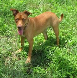 JAZZIE>>>LISBON,OHIO>>>Jazzie *Partially Sponsored!* is an adoptable Miniature Pinscher Dog in Lisbon, OH. Hi there! My name is Jazzie! I am about 10 months old and I weigh about 35 lbs. I am a delightful, happy, beautiful...