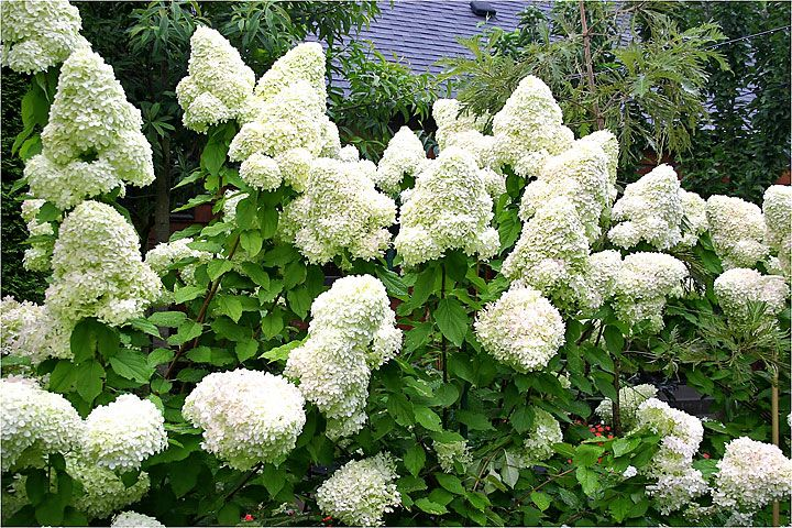 Lime Light Hydrangea