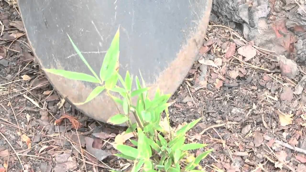 How To Grow Bamboo From Plant Cuttings How To Grow Bamboo From Plant Cuttings Part Of The Series Bamboo Growing Plant Cuttings Bamboo Plants Growing Bamboo