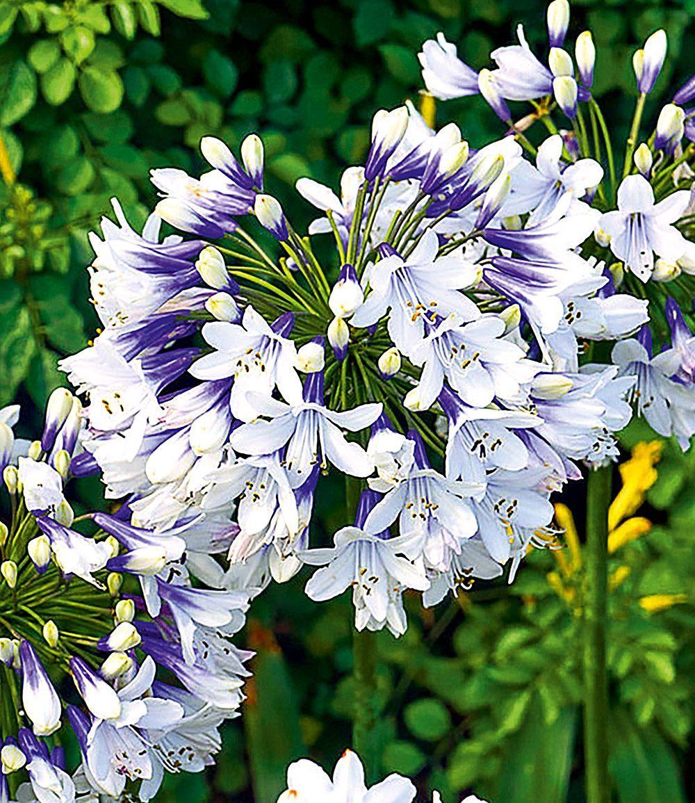 Agapanthus Twister Blumenstauden Bei Baldur Garten Werbung