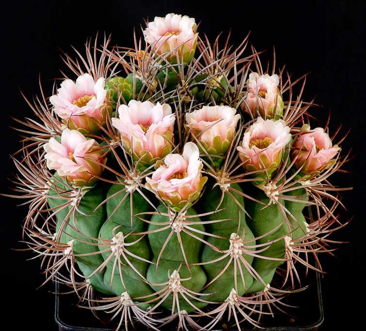 gymnocalycium saglionis kaktus pinterest kaktus und. Black Bedroom Furniture Sets. Home Design Ideas
