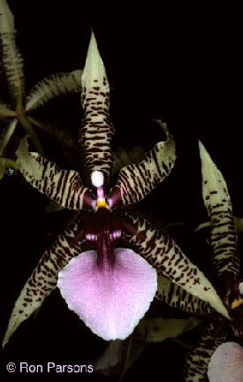 Oncidium Obryzatum | EXÓTICAS E BONITAS