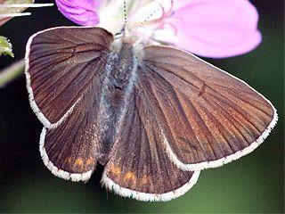 Ruskosinisiipi, Plebeius eumedon - Perhoset - LuontoPortti