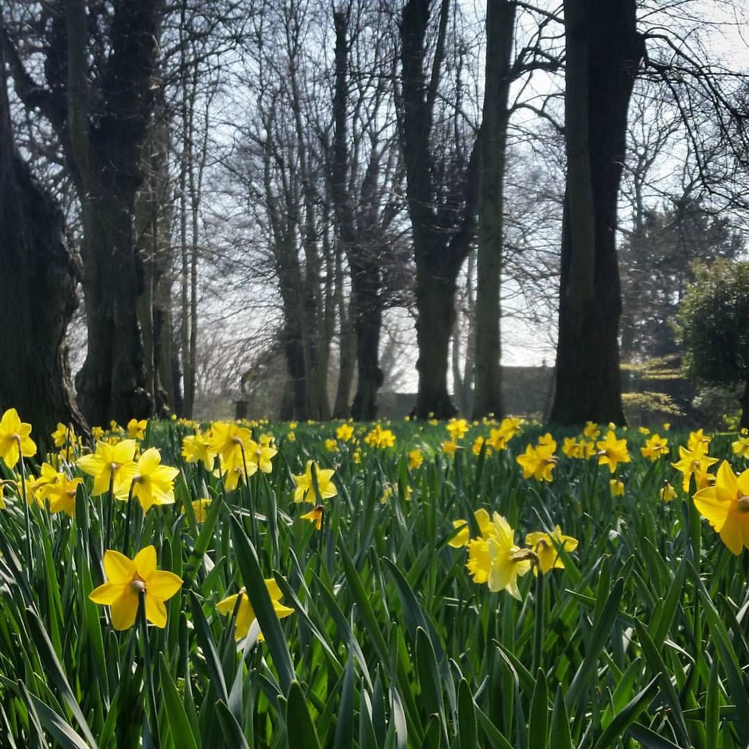 The Daffodils Were Out At Renishaw Today. The Gardens Open Again In 11 Days  And