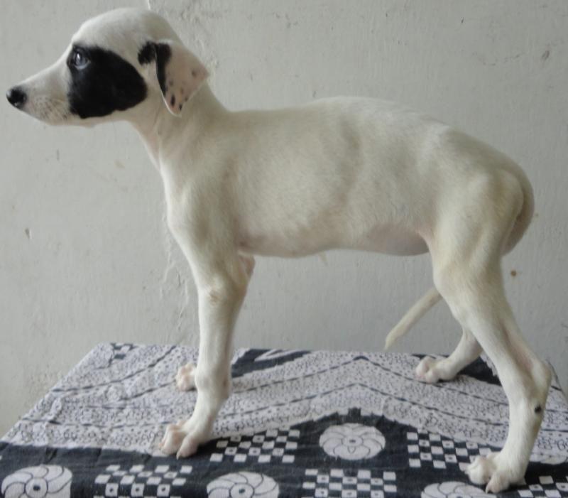 Rampur Greyhound Photo Rampur Hound Price In India Rampur Hound