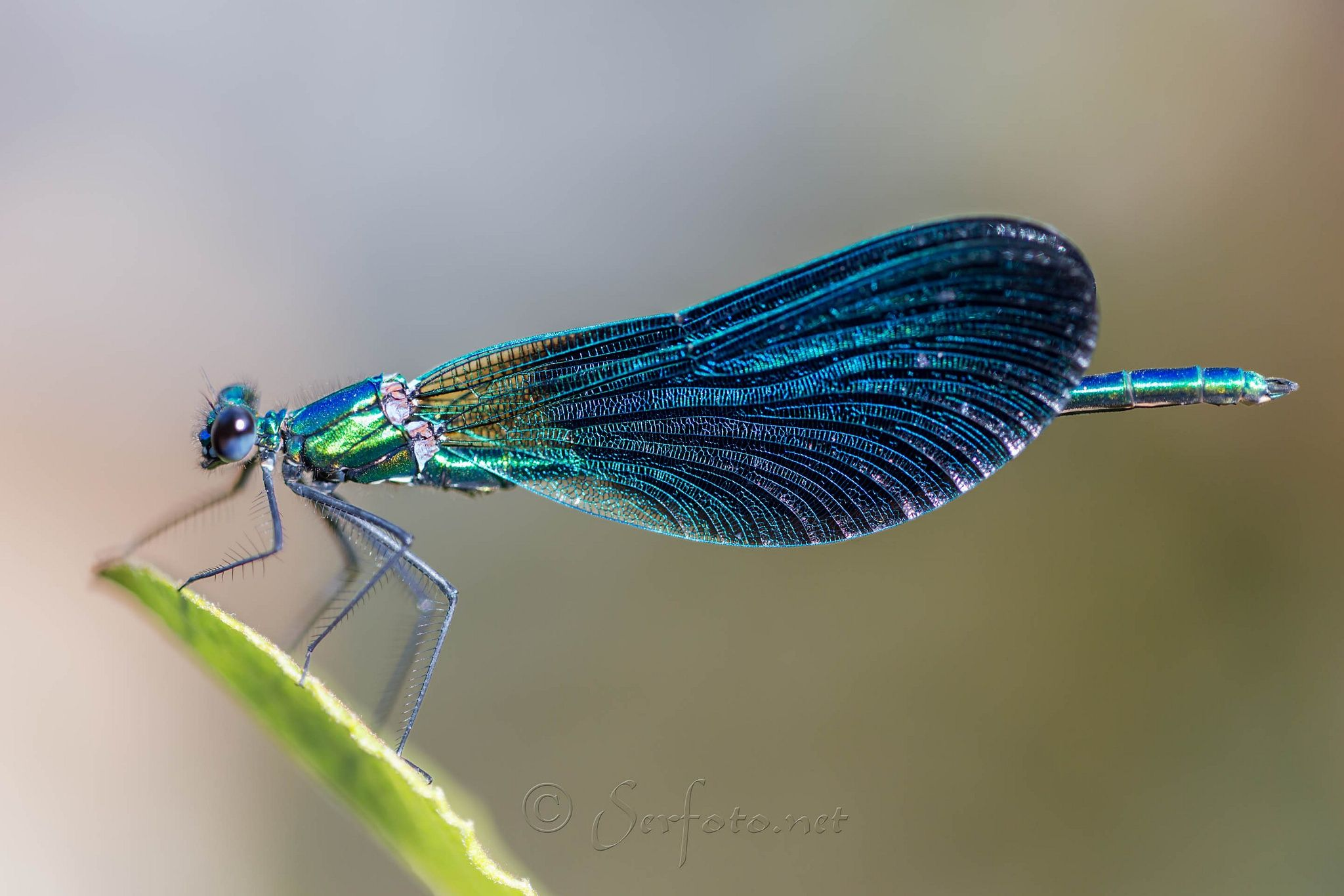 Wonderful colors and details!  Calopterix Virgo by Pablo Sandoval González on 500px