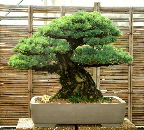 Specimen Bonsai Tree Five Needle Pine White Pine Fnpst 419xx Ebay Jardines Bonsai Bonsais