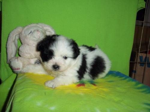 Pomapoo Puppies | Dogs, puppies, Puppies, Cute puppies
