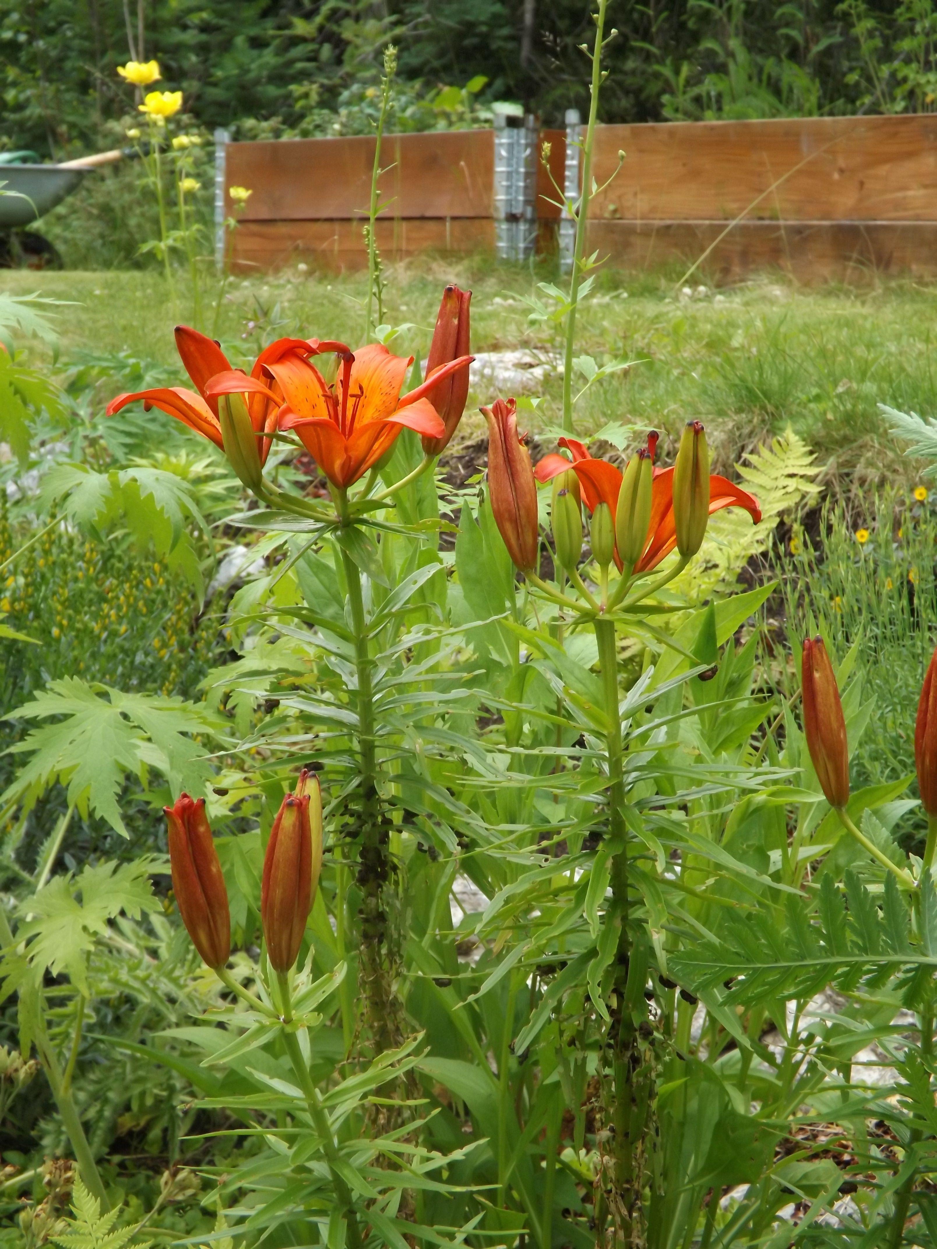 Nå i de siste dagene har keiserkronene begynt å blomstre for fullt ute i hagen min. Eller, det er vel rettere å si at det er brannliljene som har begynt å blomstre (lillium bulbiferum), for det er …