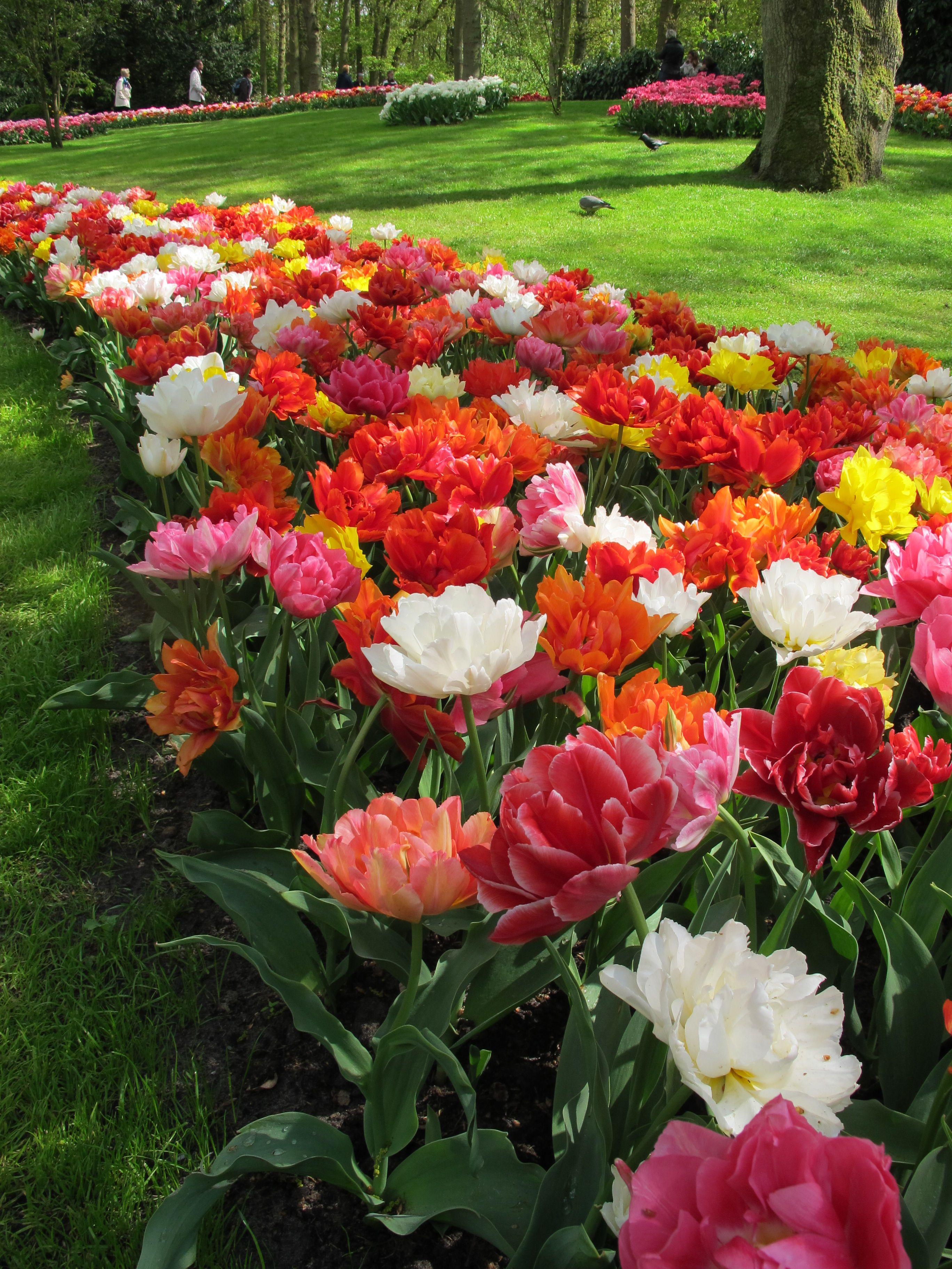Tulip Murillo Mixed   Dutch Garden World