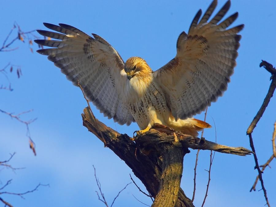 Pale Male Famous Red Tailed Hawk That Lives In New York City By George Haymont Pale Male Red Tailed Hawk Bald Eagle