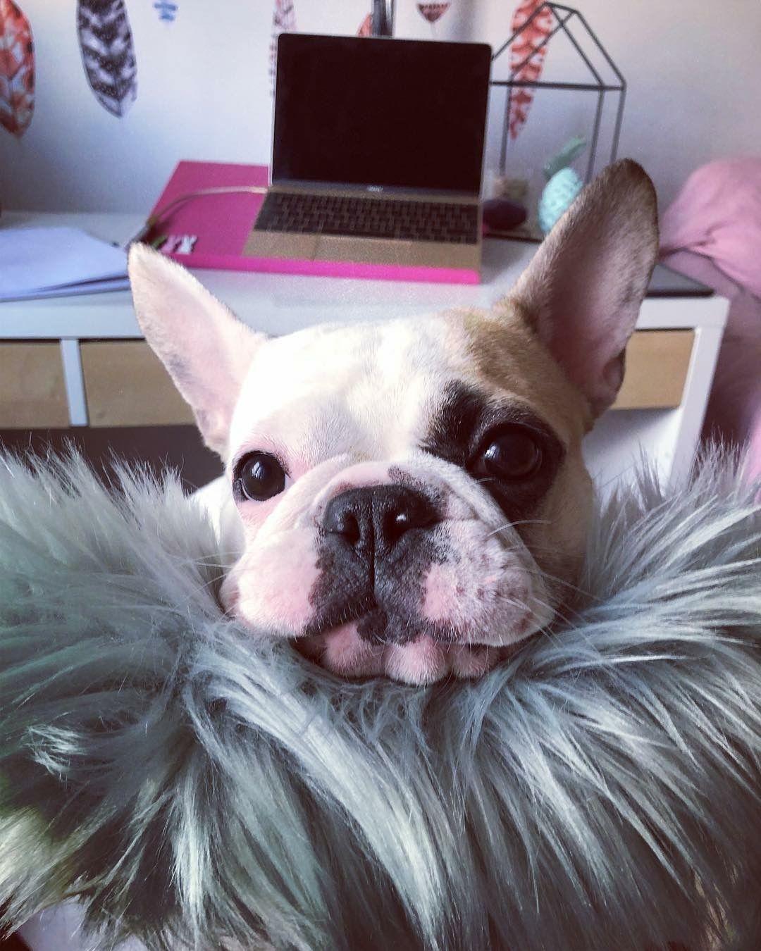 Pin By Elena Cristina On Maya French Bulldog Bulldog Dogs