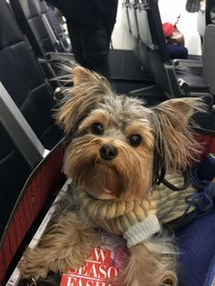 Find Out More On The Sprightly Yorkie Puppy Size Yorkshireterrierlovers Yorkshireterrieri Yorkshire Yorkie Puppy Yorkshire Terrier Yorkshire Terrier Puppies