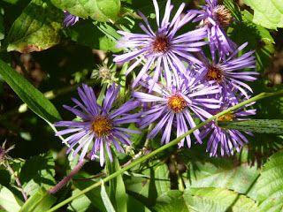 Materia Medica New England Aster Materia Medica Herbalism Essential Oil Plants