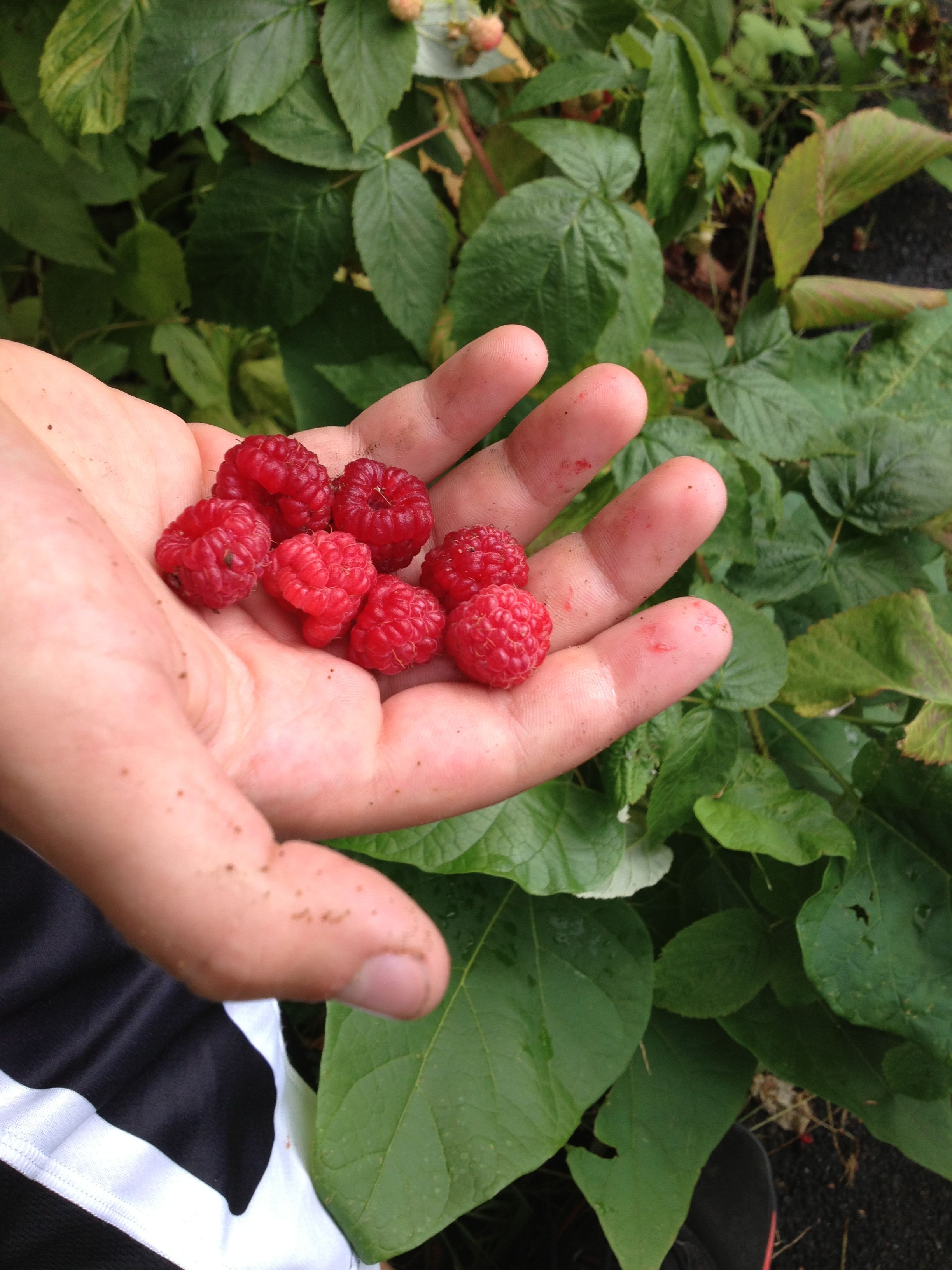 Josephs raspberries raspberry little italy fruit
