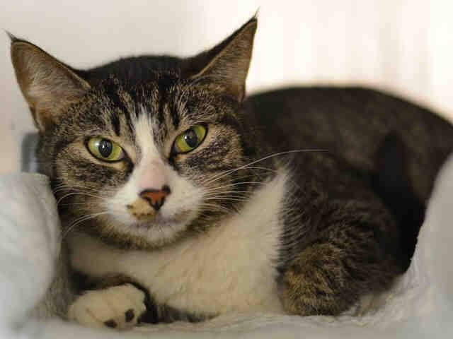 Nyc Lovely Girl To Be Destroyed 02 21 15 Tomiko Got Along With Other Cats Tolerates Attention Petting But May B Saving Cat Cat Adoption Cats And Kittens