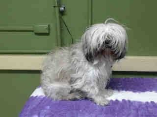 SAFE 15/1/15 --- #A4791346 My name is Juicy and I'm an approximately 4 year old female shih tzu. I am not yet spayed. I have been at the Carson Animal Care Center since January 12, 2015. I am available on January 12, 2015. You can visit me at my temporary home at C243. Carson Shelter, Gardena, California https://www.facebook.com/171850219654287/photos/pb.171850219654287.-2207520000.1421156786./358569644315676/?type=3&theater
