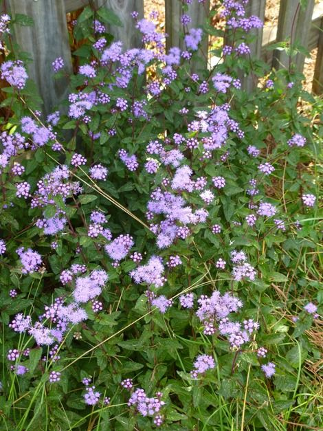 Butterfly Plants Blue Mistflower Wild Ageratum Hardy Ageratum Blue Boneset Butterfly Plants Plants Trees To Plant