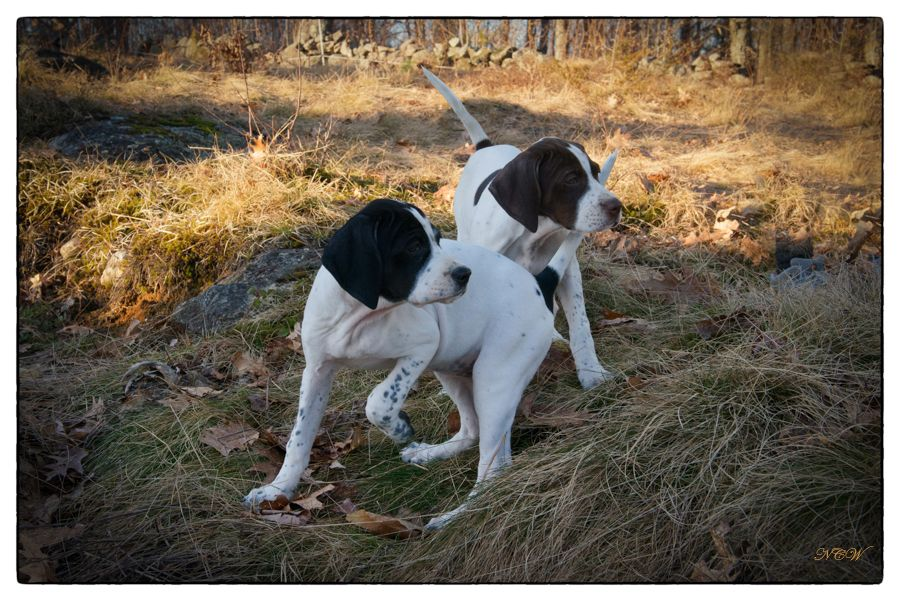 The Elhews! (With images) Pointer puppies, Dogs, Hunting