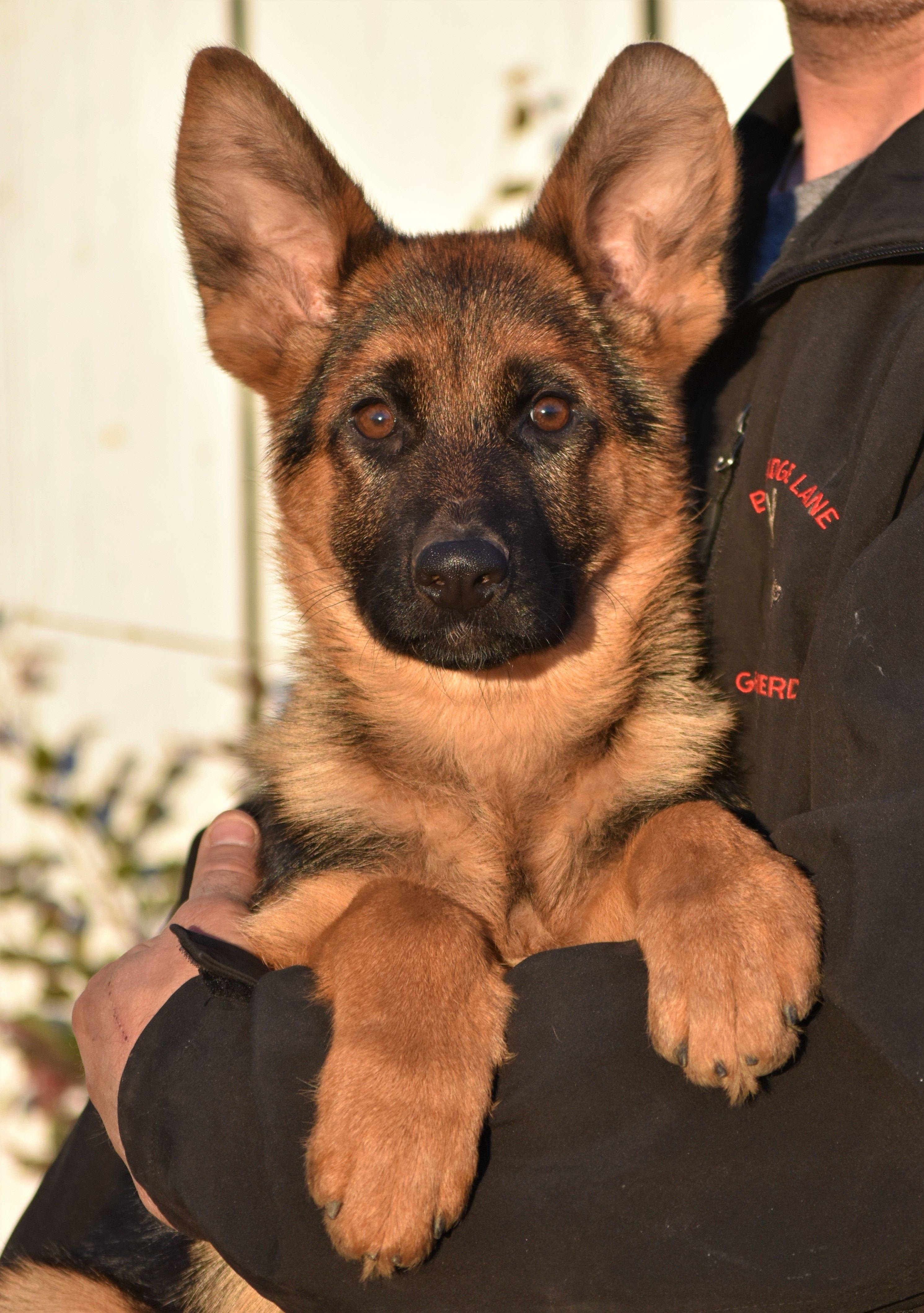 Pin By Bjp On Gsd Gsd Puppies German Shepherd Puppies German