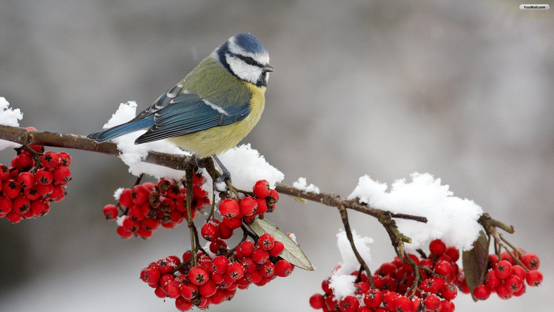 Christmas Bird Wallpaper Niedliche Vogel Exotische Vogel Vogel Als Haustiere