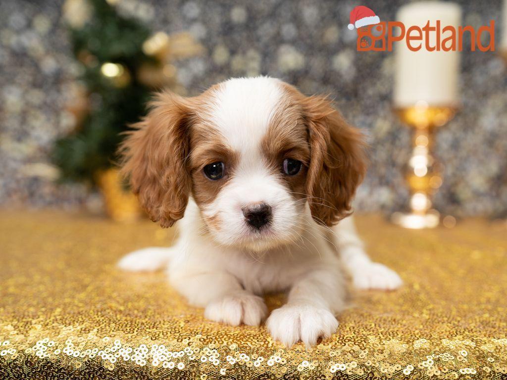 Puppies For Sale Spaniel puppies for sale, Spaniel