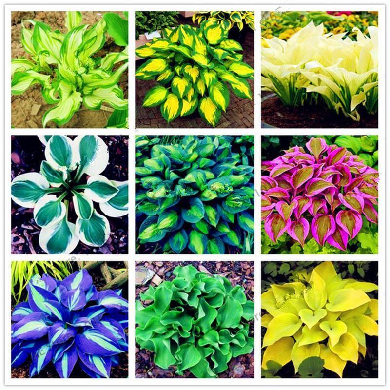 200pcs rare hosta garden perennials ornamental lily shade
