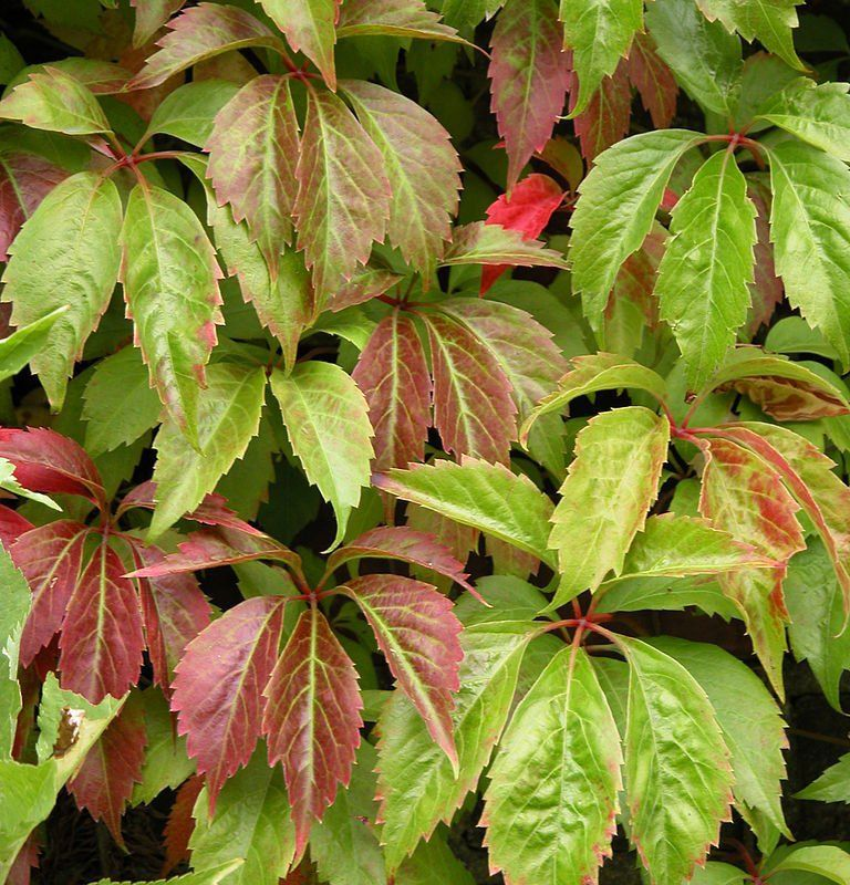 virginia creeper  parthenosissus quinquefolia