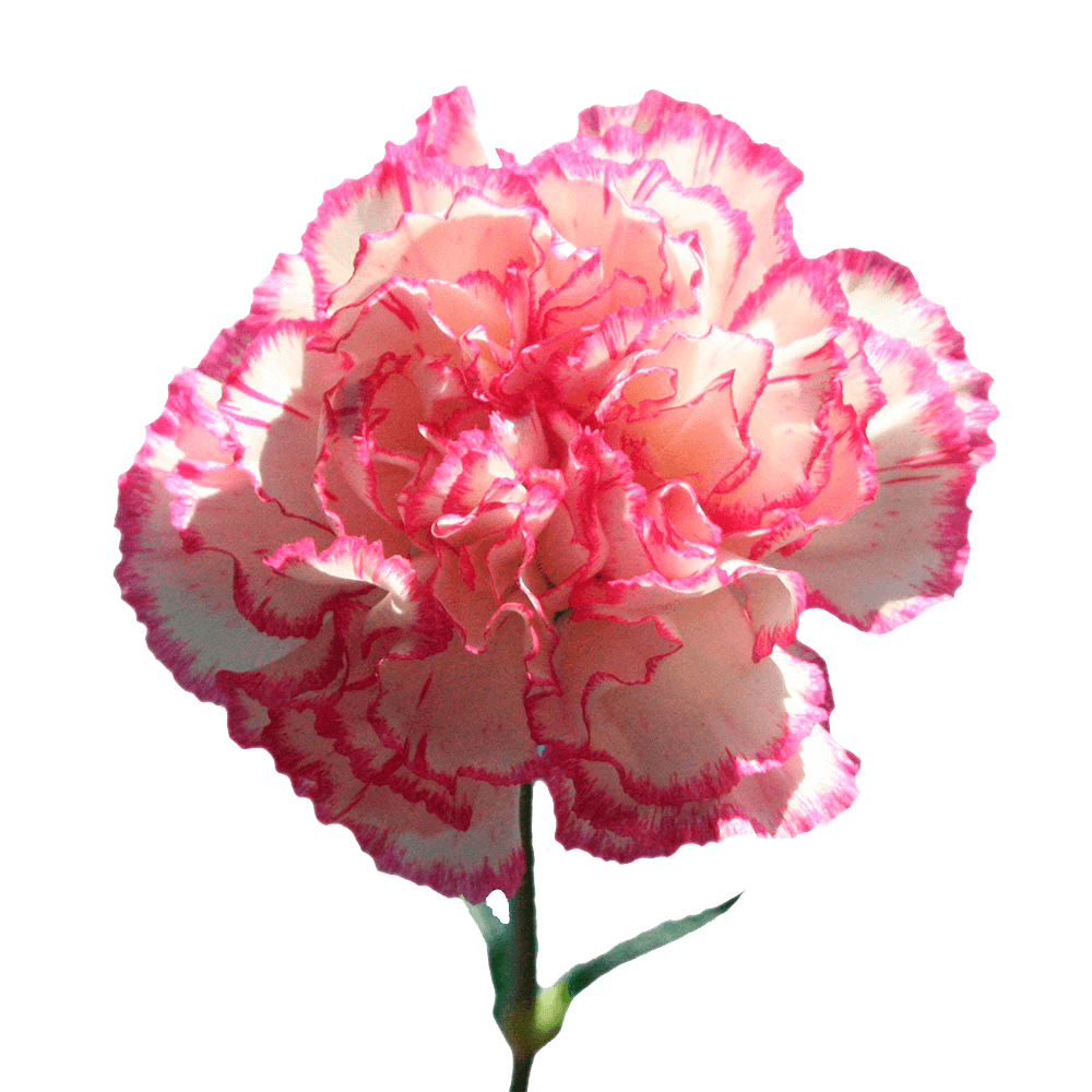 Cheap White With Pink Edges Carnations Carnations For Sale Carnations Carnation Flower Flowers