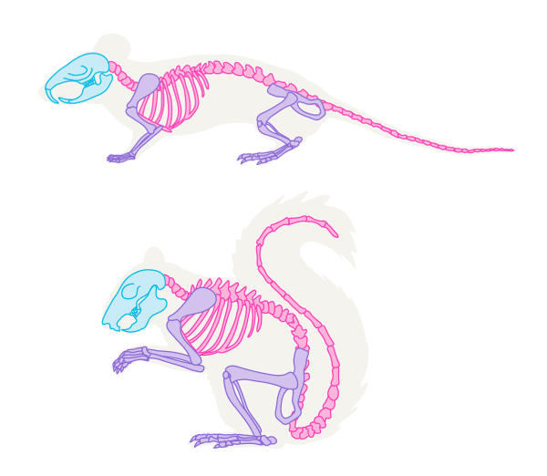 small rodents skeleton mouse squirrel | references in 2019
