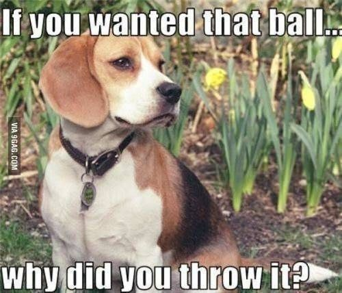 Total Beagle If You Wanted That Ball Why Did You Throw It