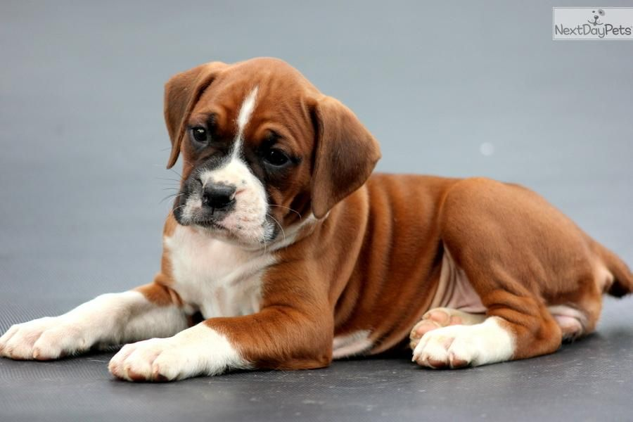 Newborn Boxer Puppies For Sale Cassie Boxer Female Boxer