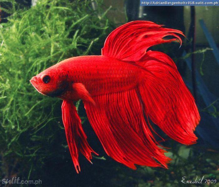Small But Fierce Samurai Fighting Fish Red Betta Fish Betta Siamese Fighting Fish
