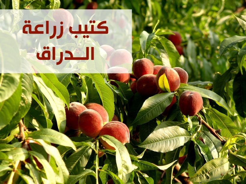 زراعة الدراق Fruit Apple Food