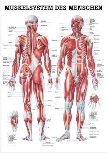 Muskelsystem des Menschen, 70 x 100 cm, papier | Anatomie ...