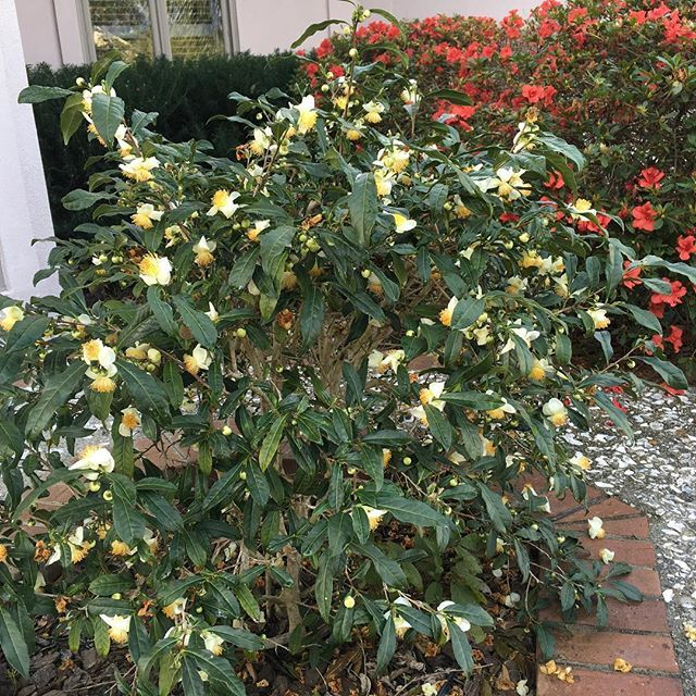 Camellia Sinensis Tea Plant In Full Bloom Today Camellia Flowers Garden Horticulture Landscape Savannah Camelli Edible Landscaping Plants Fruit Trees