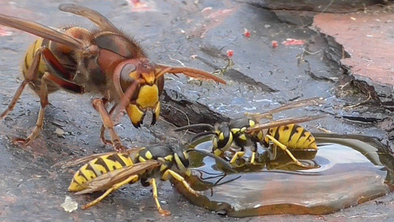 Hornet and wasp  best of one day  Hornissen u  Wespen 30 8