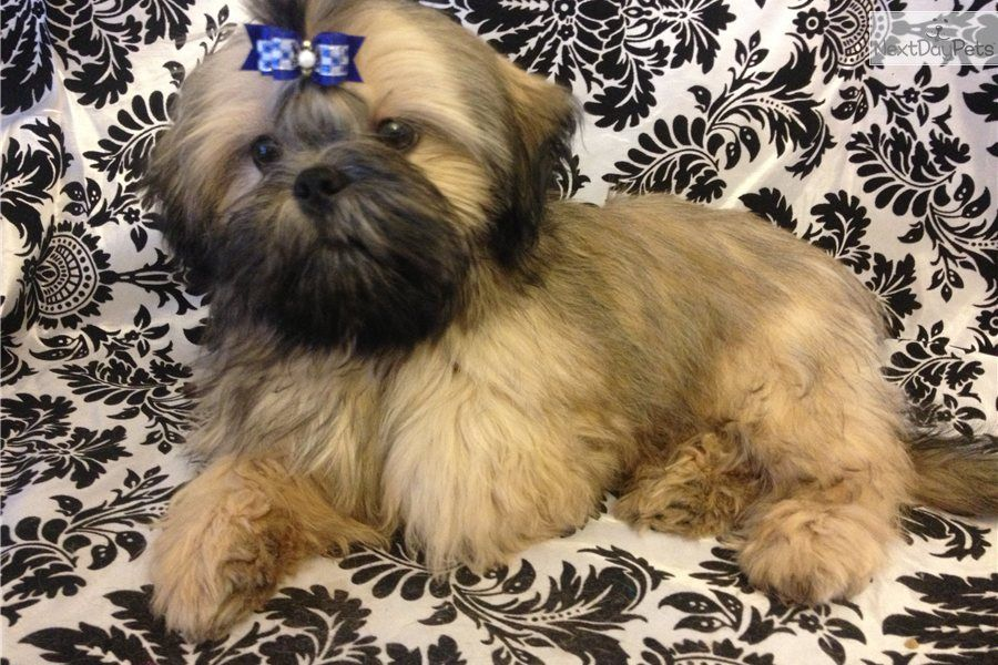 Akc Imperial Male Shih Tzu Puppy Looking For A New Home Free