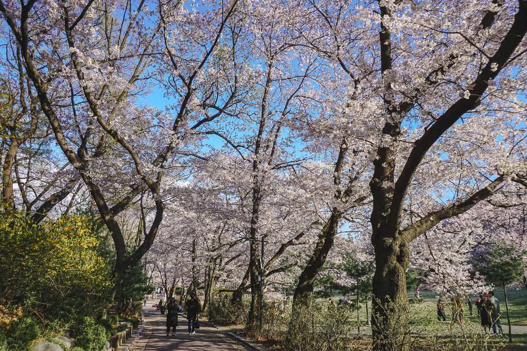 Where To See Cherry Blossoms In Seoul Korea Cherry Blossom Cherry Blossom Festival Korea Travel