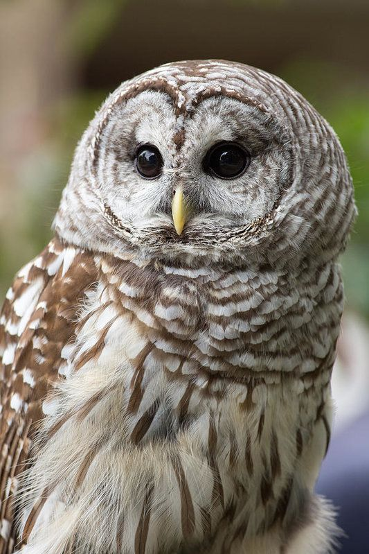 Barred Owl Print featuring the photograph Barred Owl Portrait by Dale Kincaid