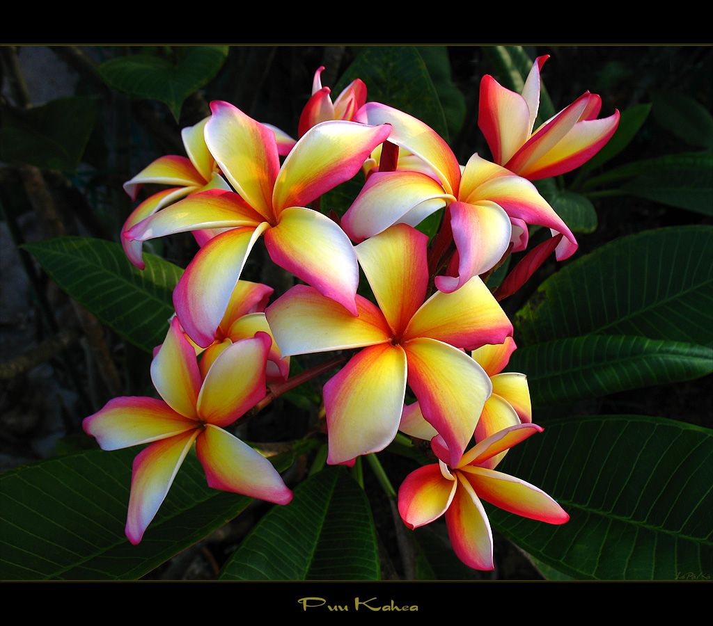 Types Of Hawaiian Flowers Hawaiian Flowers The Plumeria Puu