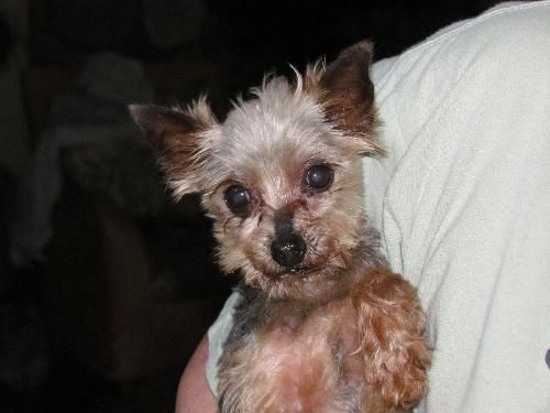 Meet Scrappy 3 5 Lbs A Petfinder Adoptable Yorkshire Terrier Yorkie Dog Torrington Ct Scrappy Is A Tiny Purebred Yorkie Kitten Adoption Yorkie Dogs Pets
