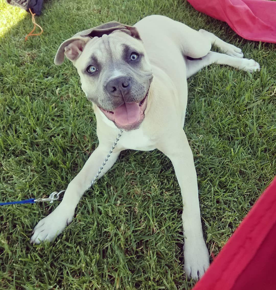Happy Dog Bluefawn Razoredge Razoredgebully