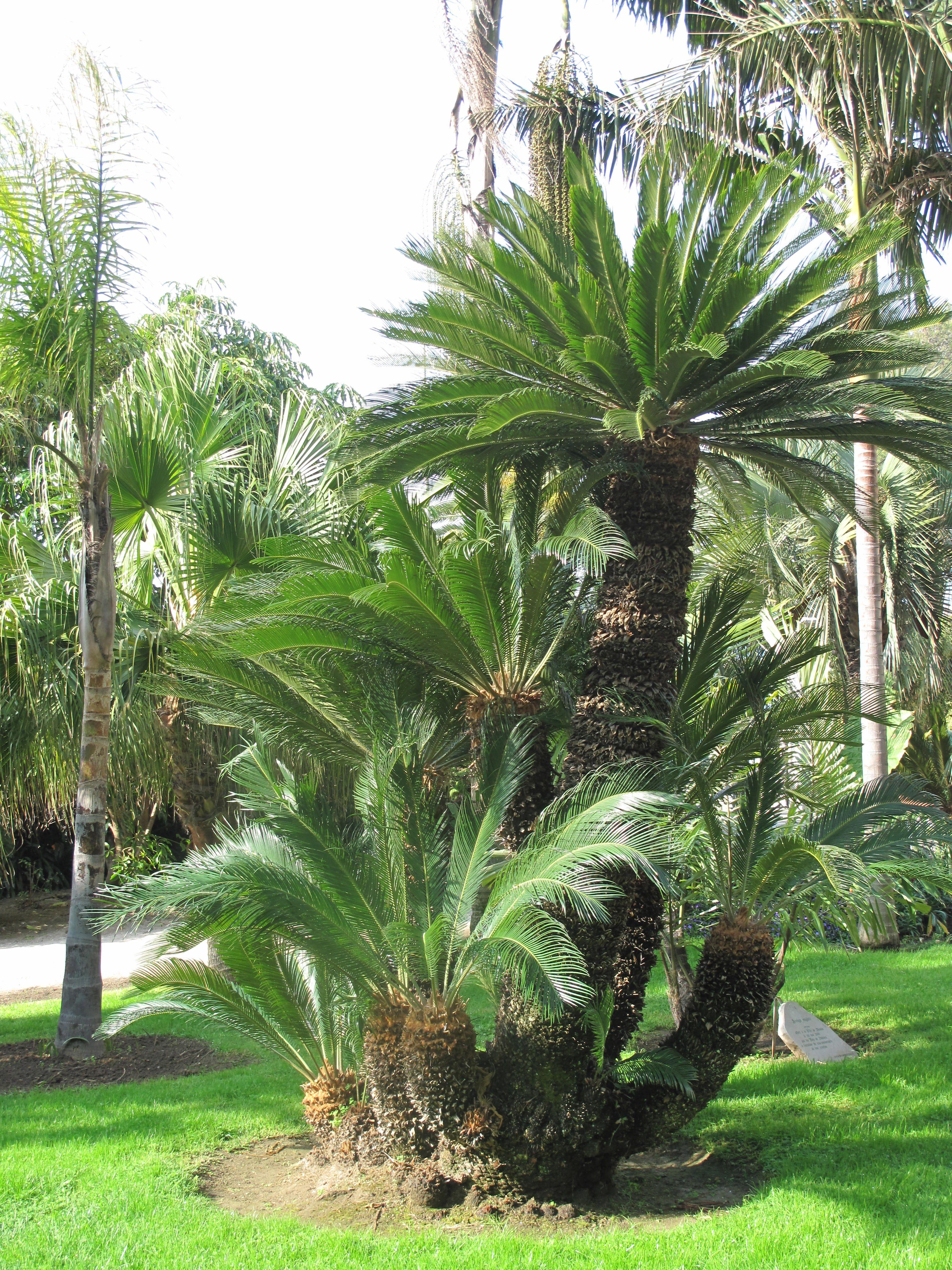 King Sago Palm Trees Cycas Revoluta Tree Plant