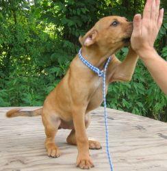 Adopt Munia on Adoptable Dogs Illinois Boxer mix