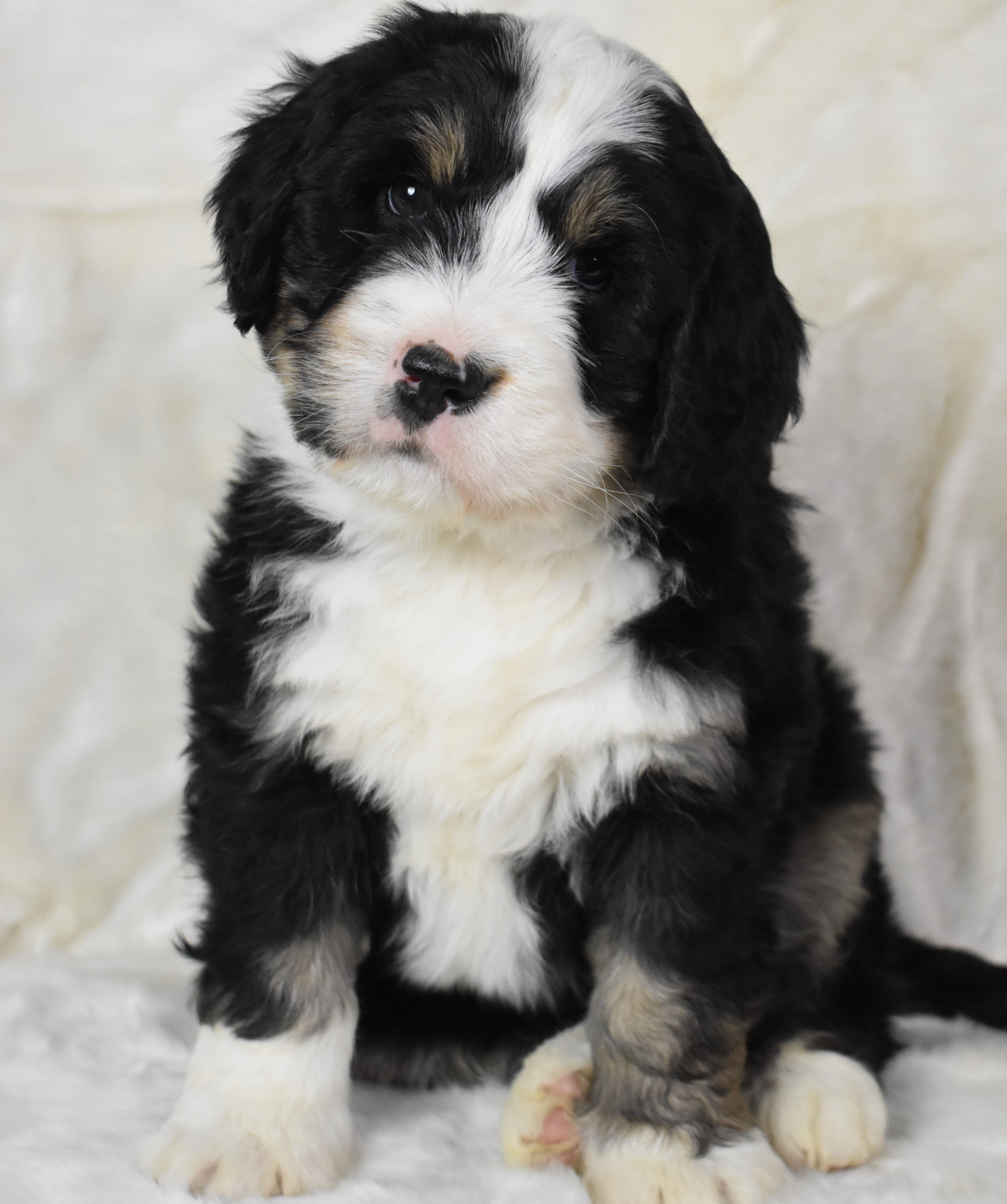 Fuzzy Bernedoodle Bernedoodle Puppy Lancaster Puppies Puppy Adoption